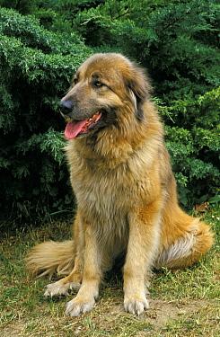 Domestic Dog, Estrela Mountain Dog, adult, sitting on grass, panting  -  Gerard Lacz/ FLPA