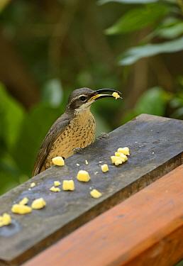 Magnificent Riflebird (Ptiloris magnificus) adult female, feeding on lumps of cheese at garden birdtable, Queensland, Australia, November  -  Malcolm Schuyl/ FLPA