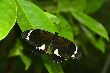 Orchard Swallowtail (Papilio aegeus aegeus) adult female, resting on leaf, Queensland, Australia, November  -  Malcolm Schuyl/ FLPA