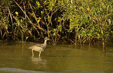 Beach Stone-curlew (Esacus giganteus) adult, walking in shallow water amongst mangroves, Cairns, Queensland, Australia, November  -  Malcolm Schuyl/ FLPA