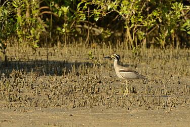 Beach Stone-curlew (Esacus giganteus) adult, standing amongst mangroves, Cairns, Queensland, Australia, November  -  Malcolm Schuyl/ FLPA