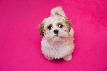 Domestic Dog, Shih Tzu, puppy, sitting on pink carpet, England, October  -  Angela Hampton/ FLPA