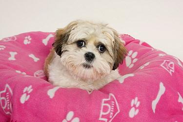 Domestic Dog, Shih Tzu, puppy, laying on bed  -  Angela Hampton/ FLPA
