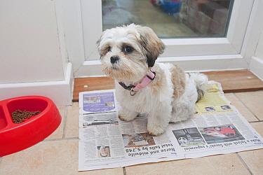 Domestic Dog, Shih Tzu, puppy, toilet training on newspaper beside door, England, October  -  Angela Hampton/ FLPA
