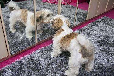 Domestic Dog, Shih Tzu, puppy, investigating reflection in mirror, England, October  -  Angela Hampton/ FLPA