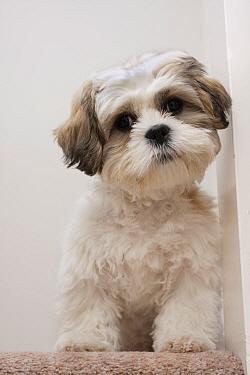 Domestic Dog, Shih Tzu, puppy, sitting on carpet at top of staircase, England, October  -  Angela Hampton/ FLPA