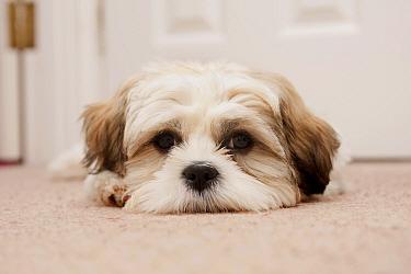 Domestic Dog, Shih Tzu, puppy, laying on carpet in hall, England, October  -  Angela Hampton/ FLPA