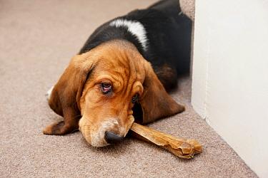 Domestic Dog, Basset Hound, puppy, chewing on hide bone, laying on carpet, England, December  -  Angela Hampton/ FLPA
