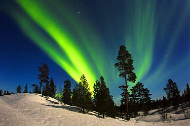 Aurora Borealis over coniferous forest in snow at night, Northern Finland, March  -  Jules Cox/ FLPA