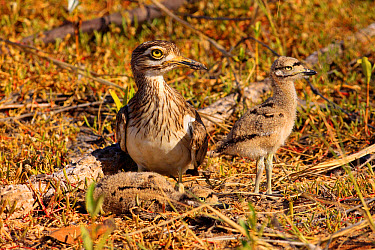 Senegal Thick-knee (Burhinus senegalensis) adult with two chicks, at nest in early morning sunlight, Gambia, December  -  Eric Woods/ FLPA