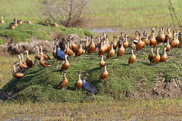 Lesser Whistling-duck (Dendrocygna javanica) flock, with Purple Swamphen (Porphyrio porphyrio) two adults, on bank in wetland, Keoladeo Ghana National Park (Bharatpur), Rajasthan, India, March  -  Bernd Rohrschneider/ FLPA