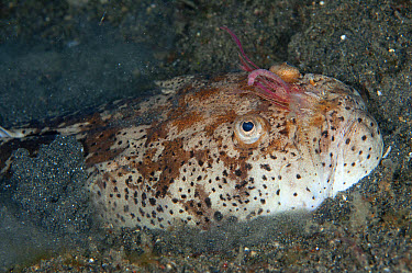 Marbled Stargazer (Uranoscopus bicinctus) adult, with internal worm-like respiratory organs extended from mouth, burying itself in black sand, Lembeh Straits, Sulawesi, Sunda Islands, Indonesia, May  -  Colin Marshall/ FLPA
