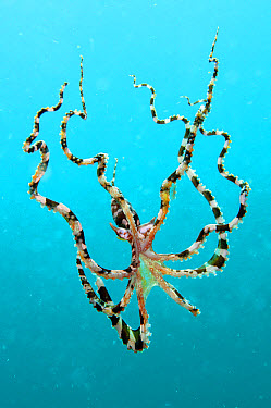 Wonderpus Octopus (Wunderpus photogenicus) adult, free-swimming in open water, Lembeh Straits, Sulawesi, Sunda Islands, Indonesia, May  -  Colin Marshall/ FLPA
