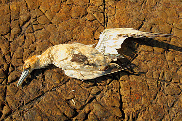 Northern Gannet (Morus bassanus) dead adult, washed ashore after contamination from polyisobutene oil additive at sea, affecting waterproof coating and ability to float, Kimmeridge Bay, Isle of Purbec...  -  Steve Trewhella/ FLPA