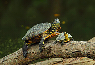 Red-eared Turtle (Trachemys scripta elegans) introduced species, adult, and Chinese Stripe-necked Turtle (Mauremys sinensis) young, basking on log, Taipei, Taiwan, April  -  Neil Bowman/ FLPA