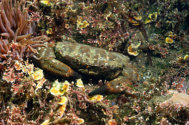 Furrowed Crab (Xantho hydrophilus) adult, amongst coraline algae, Kimmeridge Bay, Isle of Purbeck, Dorset, England, May  -  Steve Trewhella/ FLPA