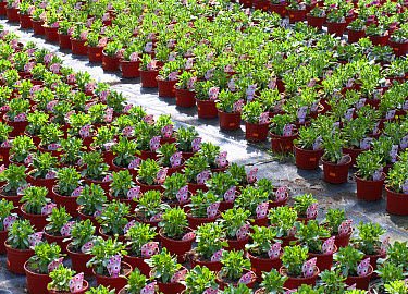 Cultivated Cape Daisy (Osteospermum ecklonis) 'Summertime Pink Charme', rows of potted plants in nursery, Norfolk, England, May  -  David Burton/ FLPA