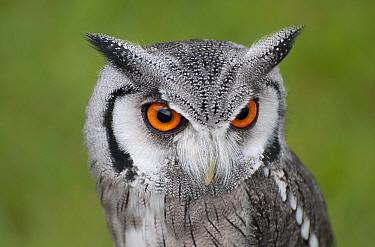 Southern White-faced Owl (Ptilopsis granti) adult, close-up of head (captive)  -  David Burton/ FLPA