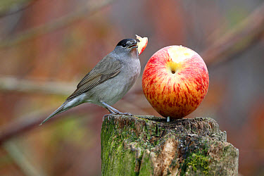 Blackcap (Sylvia atricapilla) adult male, feeding on apple in garden, Warwickshire, England, April  -  Mike Lane/ FLPA