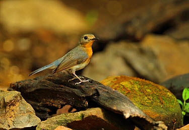 Tickell's Blue-flycatcher (Cyornis tickelliae indochina) adult female, standing on log, near Kaeng Krachan, Thailand, May  -  Neil Bowman/ FLPA
