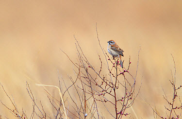 Jankowski's Bunting (Emberiza jankowskii) adult male, breeding plumage, perched on Siberian Apricot (Prunus sibirica) twig with flowerbuds, Jilin Province, Manchuria, China, May  -  Martin Hale/ FLPA