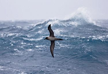 Light-mantled Sooty Albatross (Phoebetria palpebrata) adult, in flight over rough sea, Drake Passage, November  -  Martin Hale/ FLPA