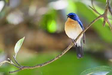Tickell's Blue-flycatcher (Cyornis tickelliae) adult male, perched on twig, Nandi Hills, Bangalore, Karnataka, India, February  -  Martin Hale/ FLPA