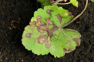Foliar nematode, Aphelenchoides spp, angular leaf spotting on an ornamental anemone plant leaves  -  Nigel Cattlin/ FLPA