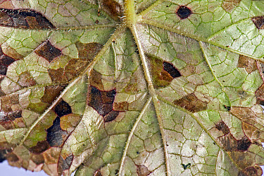 Foliar nematode, Aphelenchoides spp, angular leaf spotting on an ornamental anemone plant leaf underside  -  Nigel Cattlin/ FLPA