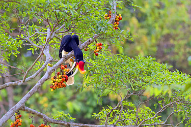 Rhinoceros Hornbill (Buceros rhinoceros borneoensis) adult male, feeding on fruit in fig tree, Malaysian Borneo, Borneo, Malaysia, February  -  Des Ong/ FLPA