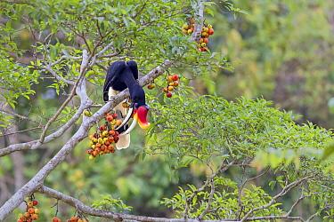 Rhinoceros Hornbill (Buceros rhinoceros borneoensis) adult male, feeding on fruit in fig tree, Malaysian Borneo, Borneo, Malaysia, February  -  Des Ong/ FLPA
