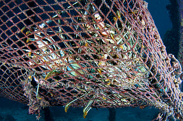 Painted Spiny Lobster (Panulirus versicolor) adults, group in lost fishing net, Arborek, Dampier Straits, Raja Ampat Islands (Four Kings), West Papua, New Guinea, Indonesia, July  -  Colin Marshall/ FLPA