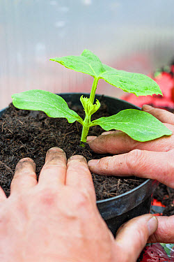 Cucumber (Cucumis sativus) young plant, with gardener planting out into pot, Norfolk, England, June  -  Gary K Smith/ FLPA