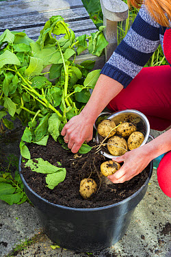 Potato (Solanum tuberosum) 'Swift', gardener gathering pot-grown early potato tubers on garden patio, Norfolk, England, June  -  Gary K Smith/ FLPA