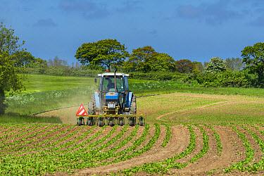 Sugar Beet (Beta vulgaris) crop, tractor hoeing between rows in field, Norfolk, England, June  -  Gary K Smith/ FLPA