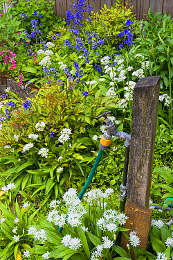 Garden tap with hose in flower border, Norfolk, England, May  -  Gary K Smith/ FLPA