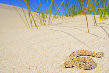 Namaqua Dwarf Adder (Bitis schneideri) adult, on sand dune in desert, Little Namaqualand, Namaqualand, South Africa, February  -  Fabio Pupin/ FLPA