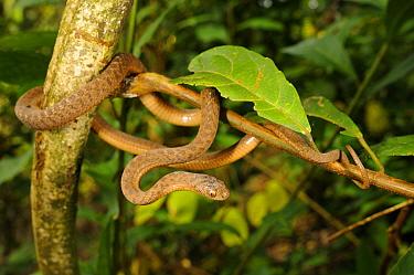 Montane Egg-eater Snake (Dasypeltis atra) adult, coiled on branch, Kahuzi-Biega National Park, Kivu Region, Democratic Republic of Congo, november  -  Fabio Pupin/ FLPA