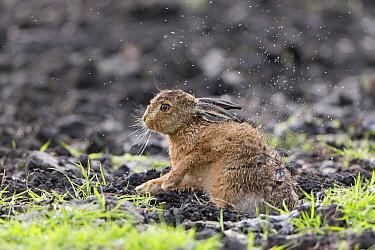 European Hare (Lepus europaeus) leveret, shaking rain from fur, Suffolk, England, May  -  Paul Sawer/ FLPA