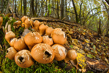 Stump Puffball (Lycoperdon pyriforme) fruiting bodies, growing in deciduous woodland habitat, Italy, November  -  Emanuele Biggi/ FLPA