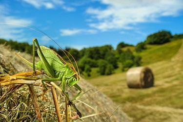 Upland Green Bush-cricket (Tettigonia cantans) adult female, resting on round hay bale in cut meadowland habitat, Antola Regional Park, Genova Province, Liguria, Italy, July  -  Emanuele Biggi/ FLPA