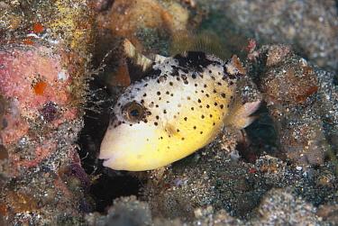 Yellowmargin Triggerfish (Pseudobalistes flavimarginatus) subadult, swimming over reef, Lembeh Straits, Sulawesi, Sunda Islands, Indonesia, July  -  Colin Marshall/ FLPA