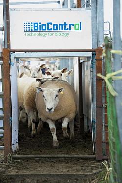 Sheep farming, ewes going through 'BioControl' automatic electronic tag reader machine at sale, Thame Sheep Fair, Oxfordshire, England, August  -  Wayne Hutchinson/ FLPA