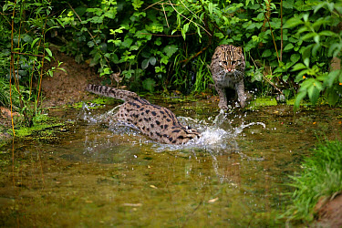 Fishing Cat (Prionailurus viverrinus) two adults, hunting in water (captive)  -  Gerard Lacz/ FLPA