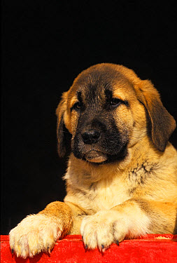 Domestic Dog, Anatolian Shepherd Dog, puppy, close-up of head and front paws  -  Gerard Lacz/ FLPA