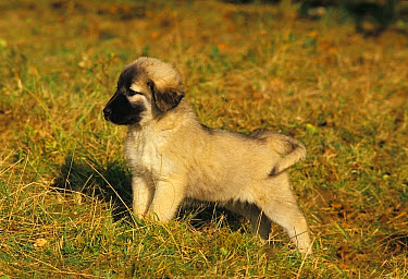 Domestic Dog, Anatolian Shepherd Dog, puppy, standing on grass  -  Gerard Lacz/ FLPA