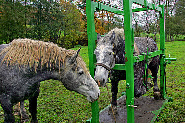 Horse, Percheron, two adults, with one in crush for shoeing, France, November  -  Gerard Lacz/ FLPA