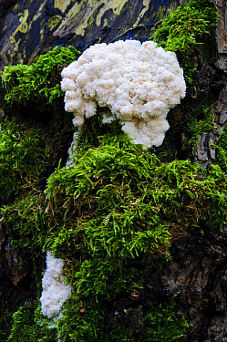 False Puffball (Enteridium lycoperdon) plasmodial phase, growing on dead standing wood at riverbank, River Ribble, Stainforth, Yorkshire Dales National Park, North Yorkshire, England, October  -  Dave Pressland/ FLPA