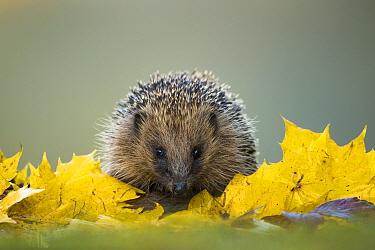 European Hedgehog (Erinaceus europaeus) adult, foraging amongst fallen leaves, Sussex, England, November  -  Jules Cox/ FLPA