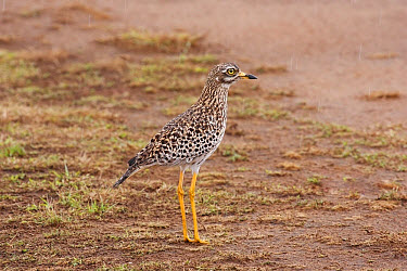 Spotted Dikkop (Burhinus capensis) adult, standing on plain during rainfall, Masai Mara, Kenya, November  -  Kevin Elsby/ FLPA